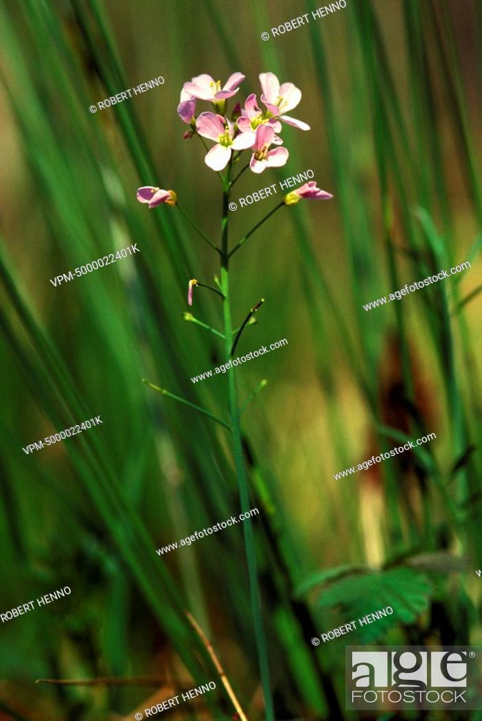 Stock Photo: CARDAMINE PRATENSISCUCKOO FLOWER - LADY'S SMOCK - MILKMAID.