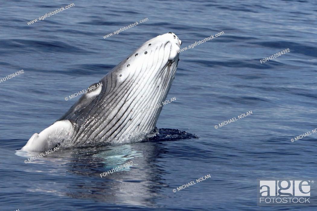 Stock Photo: Newborn humpback whale Megaptera novaeangliae calf learning how to breach in the AuAu Channel, Maui, Hawaii. Pacific Ocean.