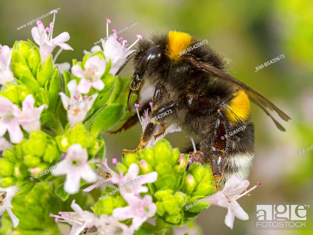Stock Photo: white-tailed bumble bee (Bombus lucorum), White-tailed bumblebee worker foraging on Majoram, Germany.