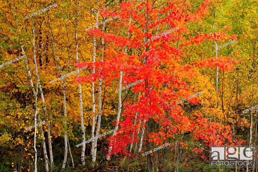 Stock Photo: Red maple and birch trees.