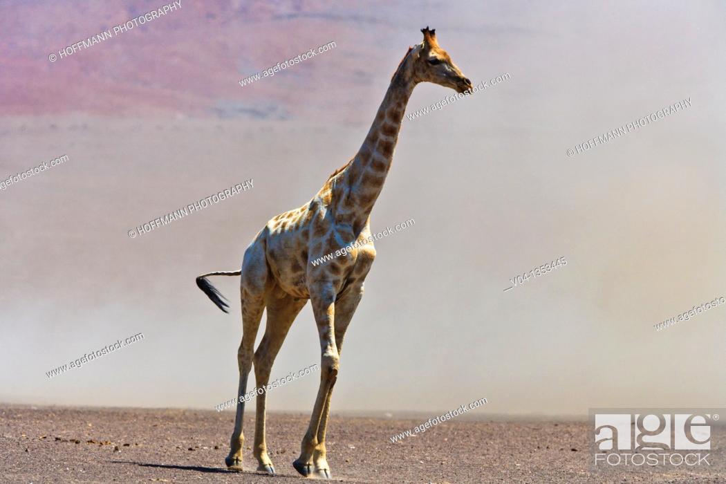 Stock Photo: A giraffe (Giraffa camelopardalis) in a sandstorm in the Skeleton Coast Park, Namibia, Africa.