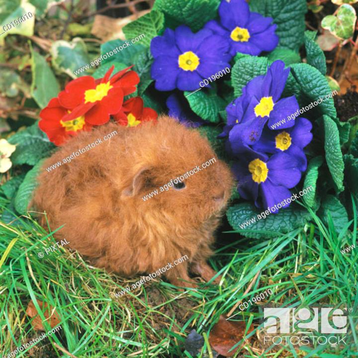 Stock Photo: Guinea Pig.