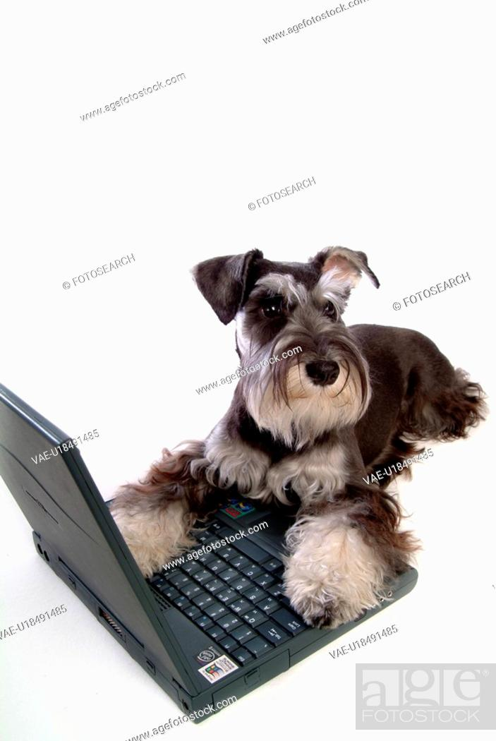 Stock Photo: pose, schnauzer, house pet, canines, domestic, posed, miniature schnauzer.