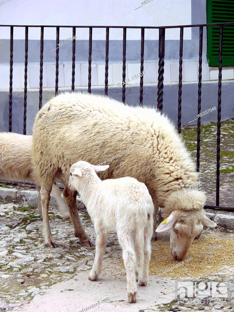 Stock Photo: Sheep.