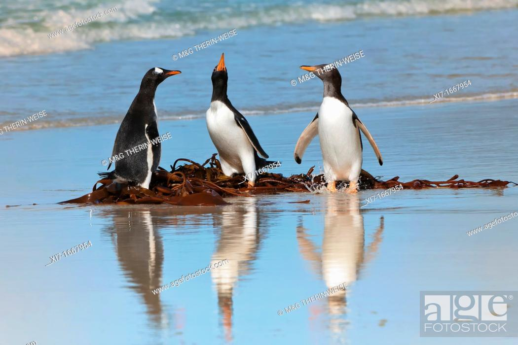 Imagen: Group of Gentoo penguins Pygoscelis papua fighting on the beach, Saunders Island, Falkland Islands.