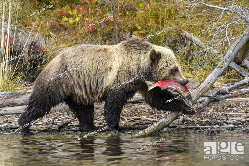 Photo de stock: Grizzly bear (Ursus arctos)- Walking river shoreline with sockeye salmon prey in jaws, Chilcotin Wilderness, BC Interior, Canada.