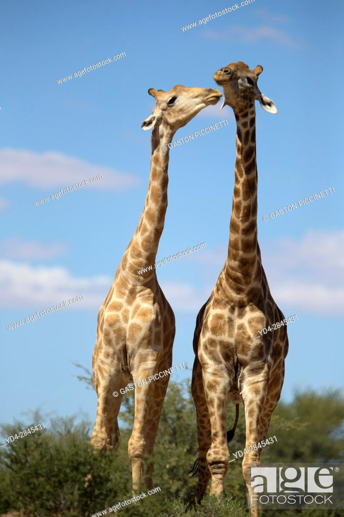 Stock Photo: Giraffe (Giraffa giraffa giraffa) - Two males, Kgalagadi Transfrontier Park, Kalahari desert, South Africa/Botswana.