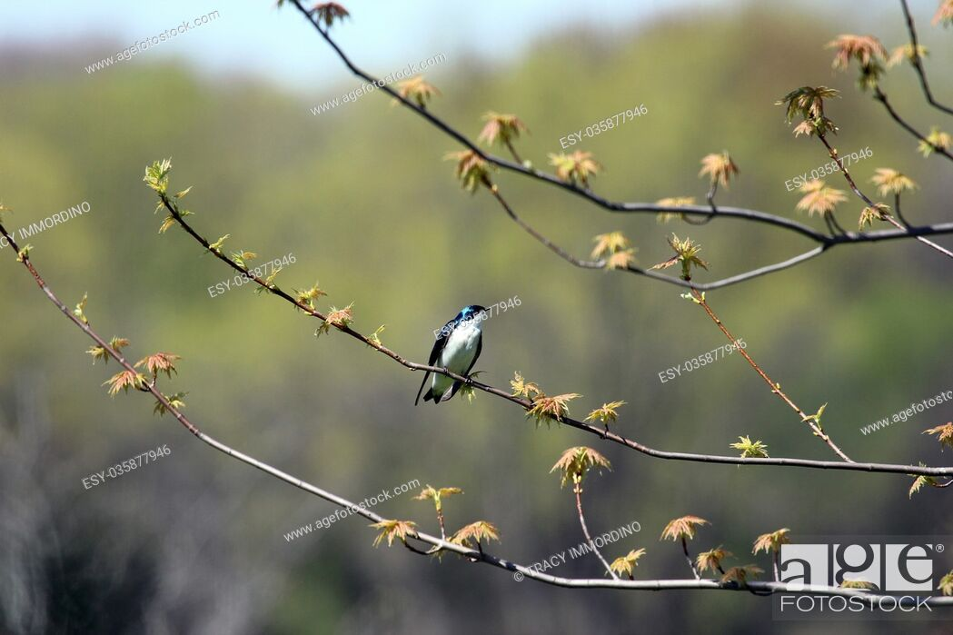Stock Photo: A male Barn Swallow sitting on a Queen Maple tree just beginning to leaf out in the spring, in Wisconsin.