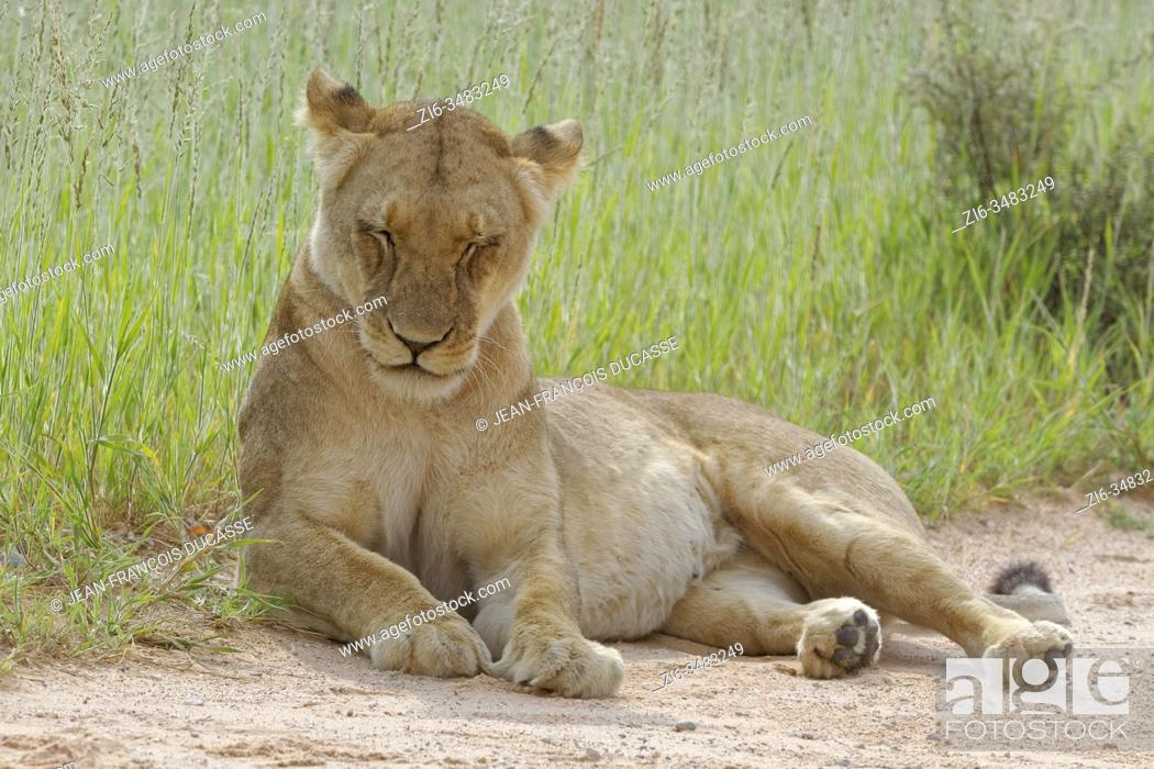 Stock Photo: Lioness (Panthera leo), adult female, lying at the edge of a sand road, sleeping, Kgalagadi Transfrontier Park, Northern Cape, South Africa, Africa.