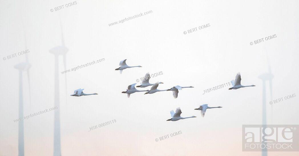 Imagen: Whooper swan (Cygnus cygnus) small group flying between windmills in a misty background at daybreak, Germany, Niedersachsen.
