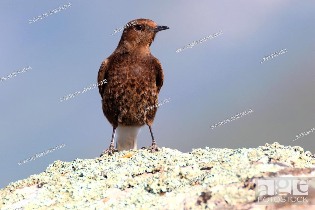 Stock Photo: Hembra de Collalba Negra 'Oenanthe leucura'. Parque Nacional de Monfrague, Extremadura.