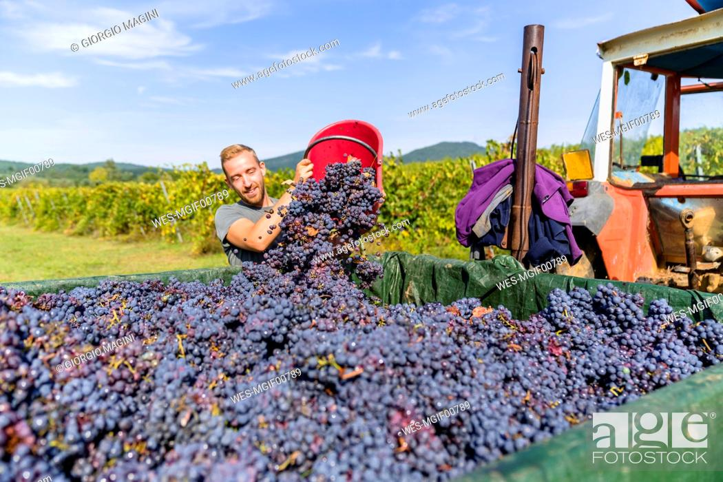 Stock Photo: Man pouring red grapes on trailer in vineyard.