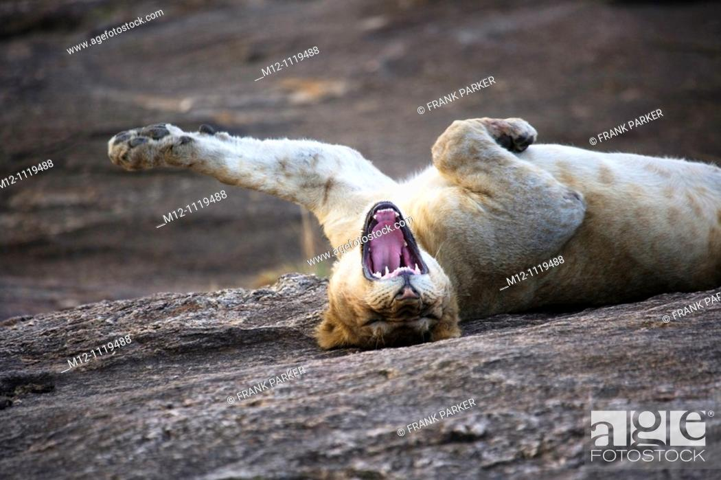 Stock Photo: Young male Lion stretching in the Masai Mara.