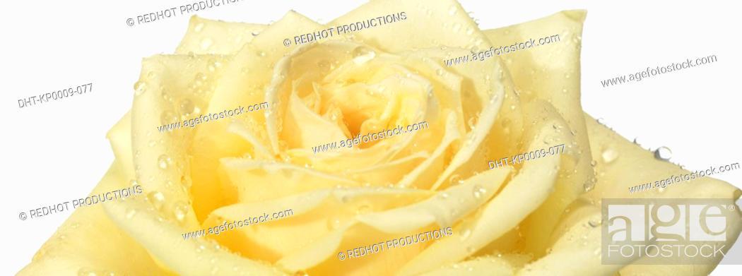 Stock Photo: Onw white Rose with dew.
