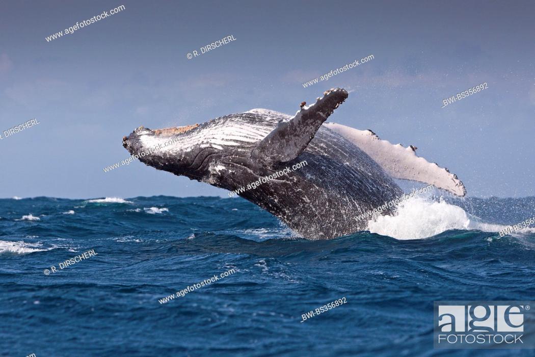 Imagen: humpback whale (Megaptera novaeangliae), breaching Humpback Whale, South Africa, Indian Ocean, Wild Coast.