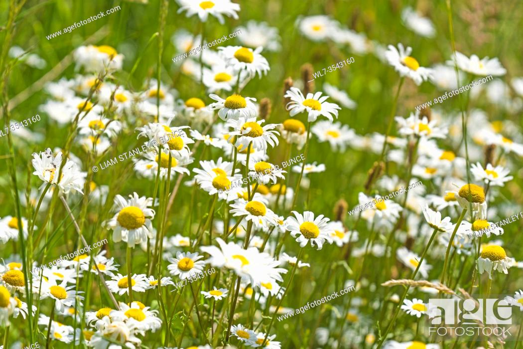 Stock Photo: Oxeye Daisy (Leucanthemum vulgare) growing on a nature reserve in the Herefordshire UK countryside. June 2019.