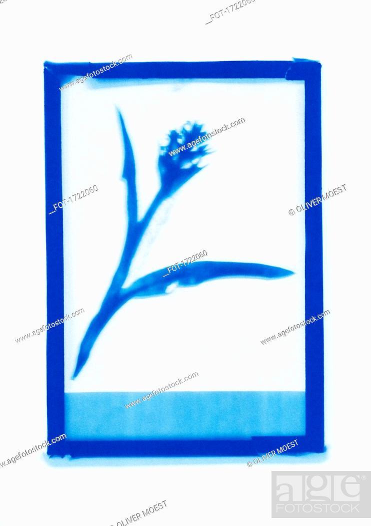 Stock Photo: Inverse photogenic drawing of flower specimen.