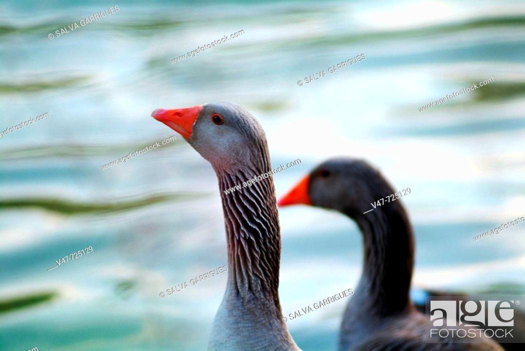 Stock Photo: ocas al atardecer el el Lago Azul de Tavernes de la Valldigna.