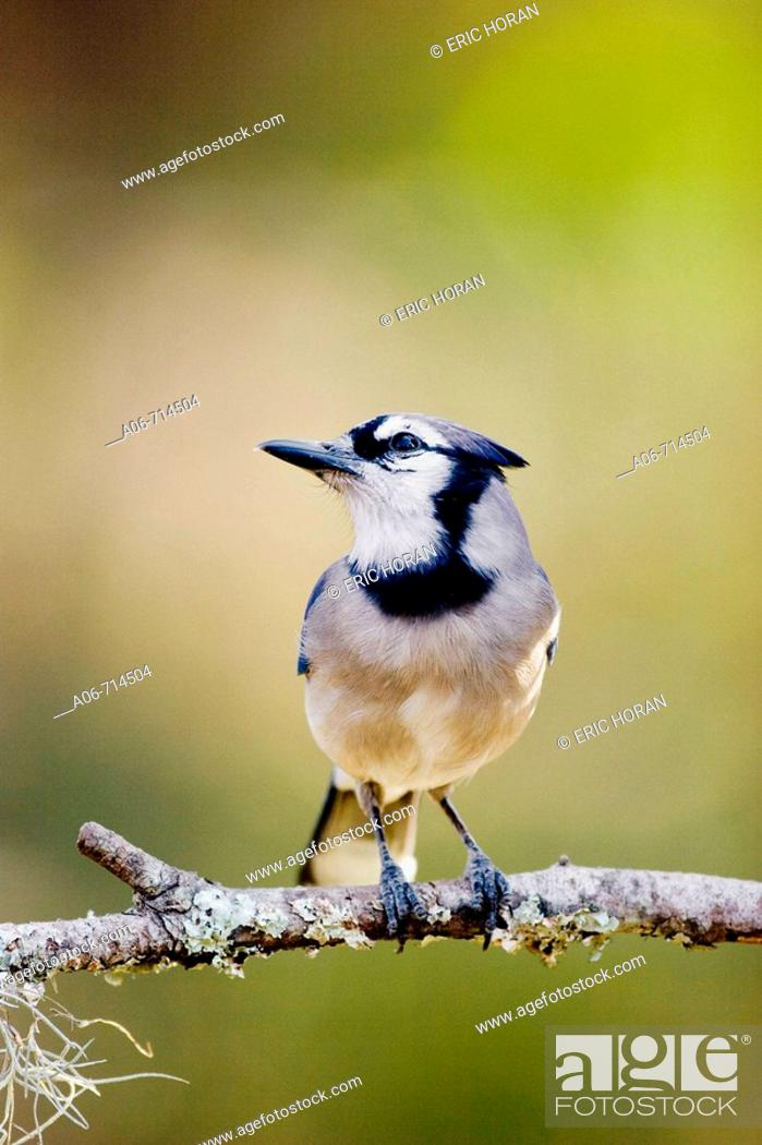 Stock Photo: Perched Blue Jay.