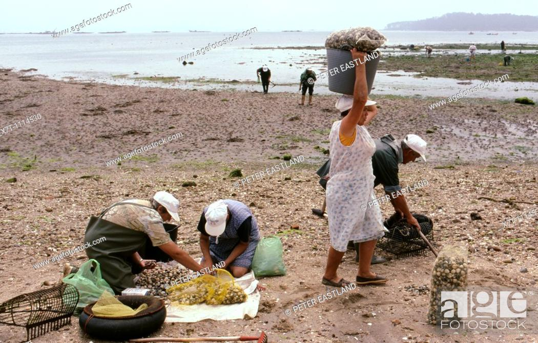 Stock Photo: Workers checking their catch after digging for 'berberichos' cockles in the Ria de Arousa at A Pobra do Caraminal, Galicia, North-West Spain.