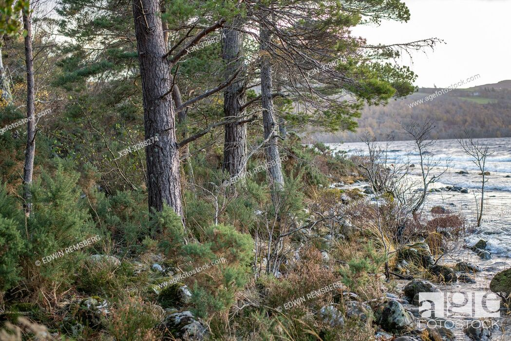 Imagen: Trees on the bank of Loch Ness in Scotland, United Kingdom.