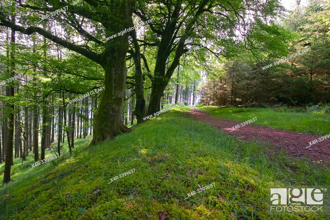 Stock Photo: Forest trail at Kinnity, Slieve Bloom Mountains, County Offaly, Ireland.