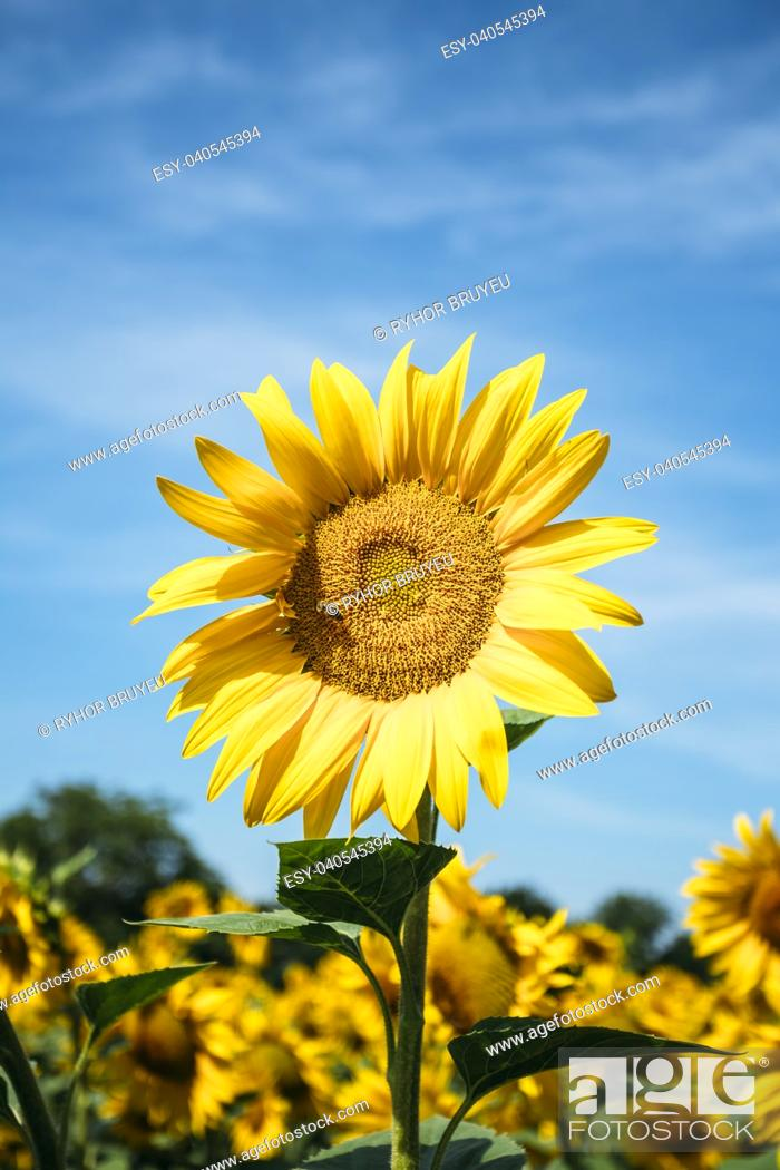 Stock Photo: Close up of bright yellow bloomng sunflowers field in sunny summer day. Agricultural concept.