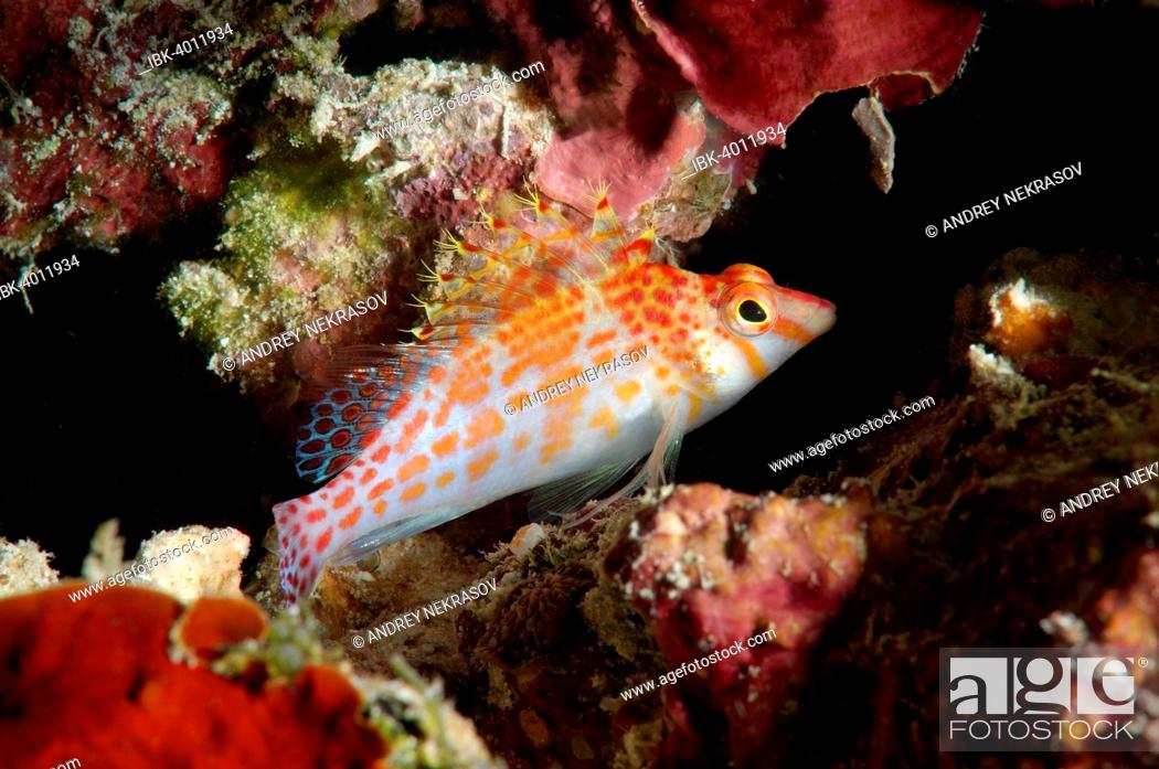 Stock Photo: Dwarf hawkfish (Cirrhitichthys falco), Bohol Sea, Philippines.