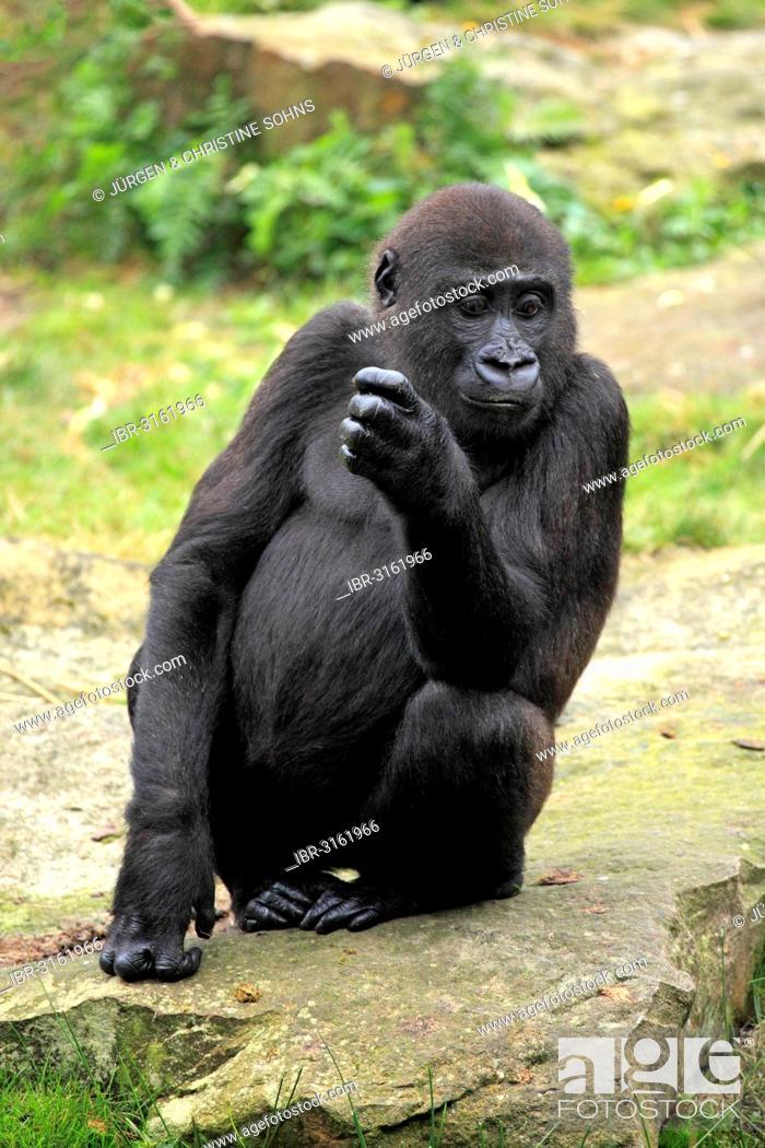 Stock Photo: Western Lowland Gorilla (Gorilla gorilla gorilla), juvenile, captive, Apenheul Primate Park, Apeldoorn, Gelderland, The Netherlands.
