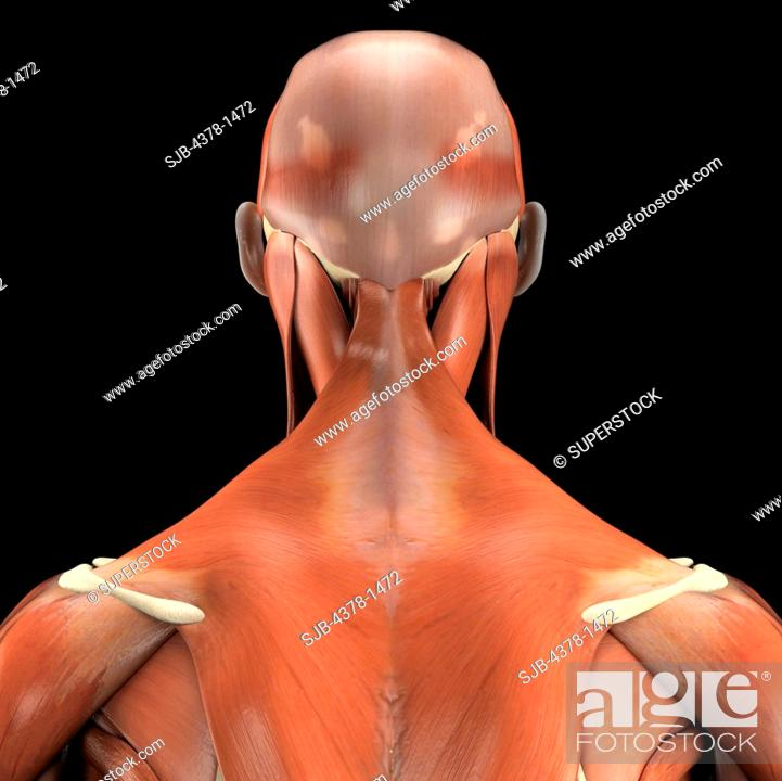 A Human Model Showing The Trapezius Muscle Stock Photo Picture And