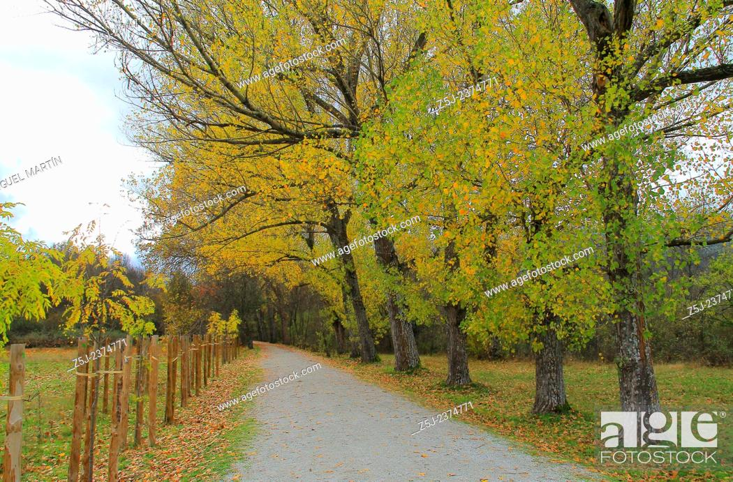 Stock Photo: Many old poplars flank the road through Los Batanes, one of many lands owned by the monastery of El Paular (Rascafría, Madrid autonomous region).