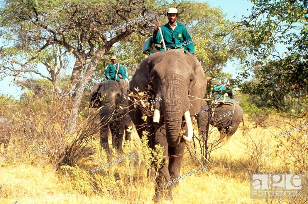 Stock Photo: Safari - Group riding African Elephants on safari, Okavango, Botswana, august.