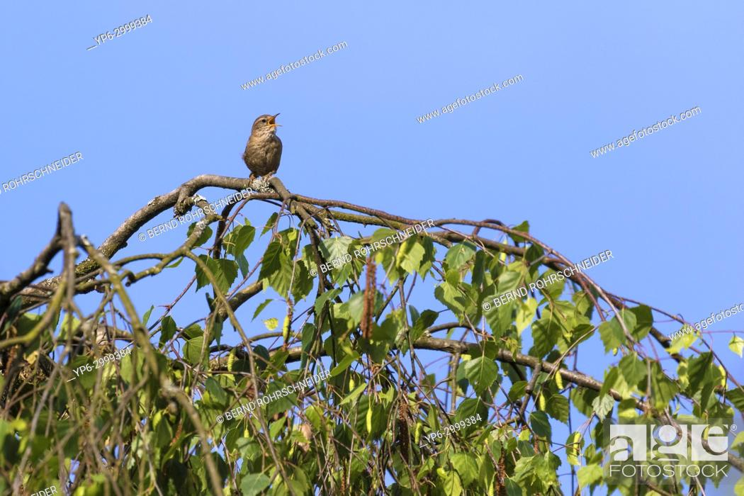 Stock Photo: Eurasian wren (Troglodytes troglodytes), adult singing on branch, Trier, Rhineland-Palatinate, Germany.