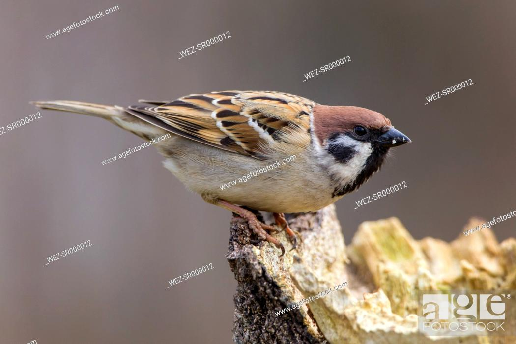 Stock Photo: Germany, Hesse, Tree sparrow perching on tree trunk.