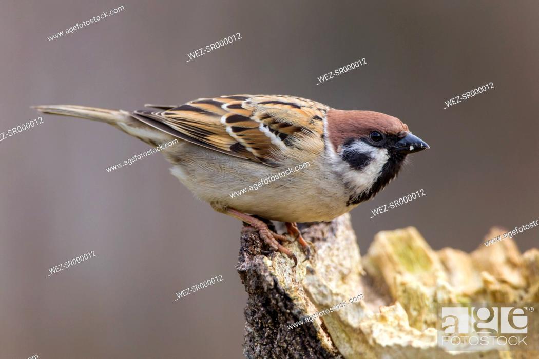 Stock Photo: Germany, Hesse, Tree sparrow perching on tree trunk.