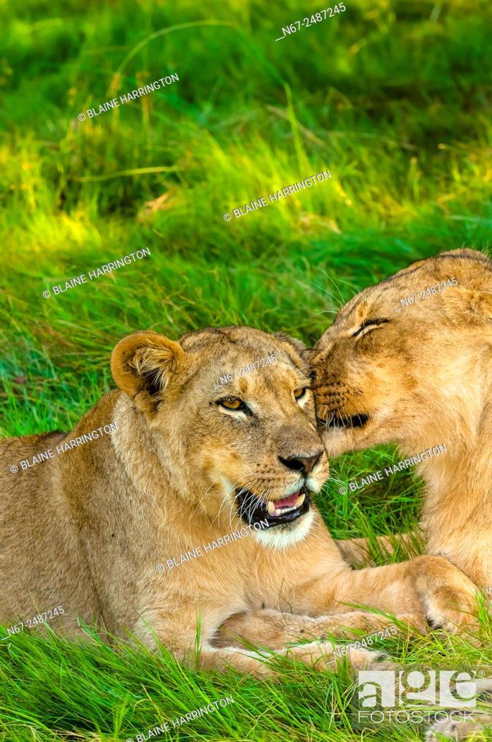Stock Photo: Female lions near Kwara Camp, Okavango Delta, Botswana.