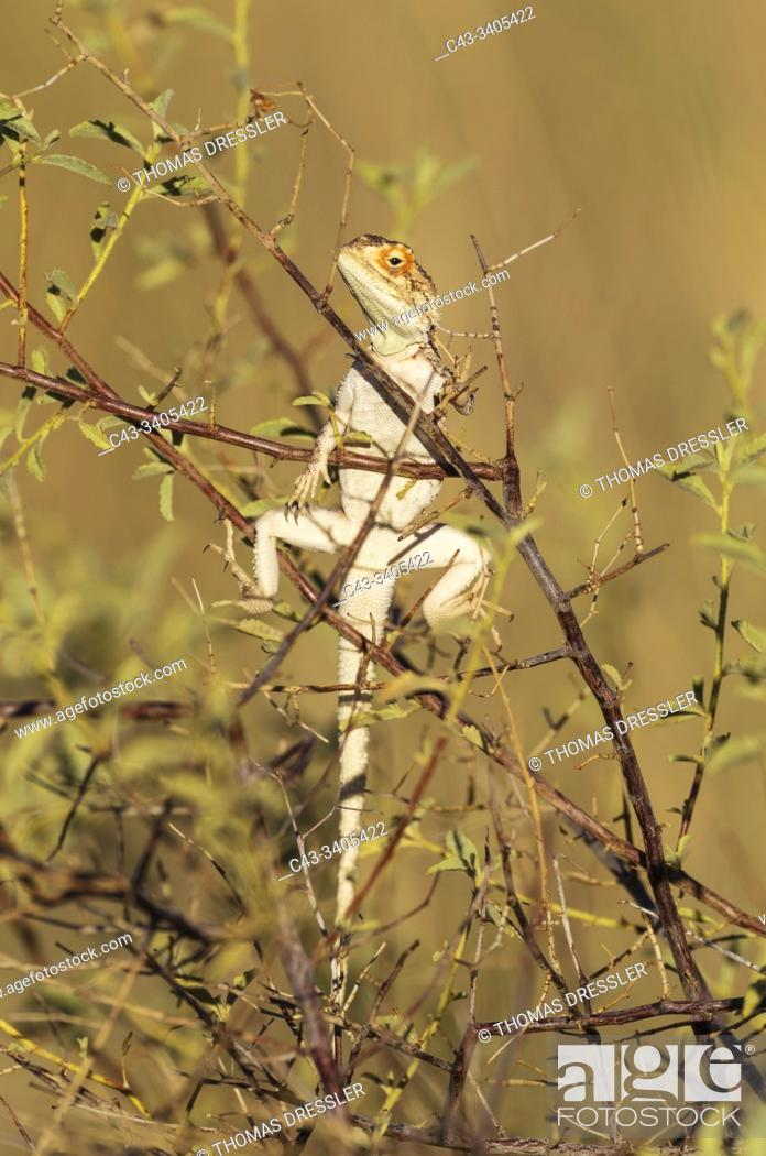 Stock Photo: Ground Agama (Agama aculeata). Basking. Kalahari Desert, Kgalagadi Transfrontier Park, South Africa.