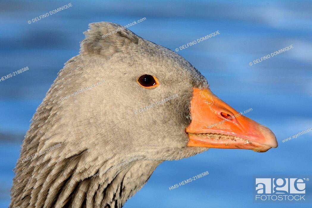 Stock Photo: France, Doubs, Greylag Goose (Anser anser), portrait.