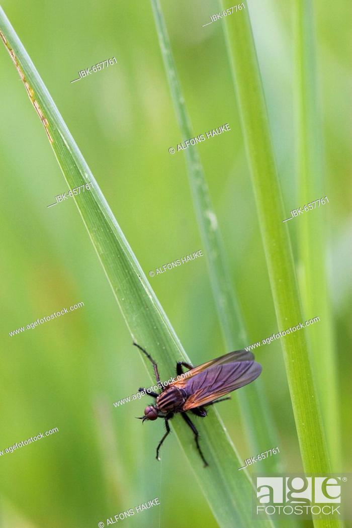 Stock Photo: Hawthorn Fly or St. Mark's Fly (Bibio marci), Donauauen, Ingolstadt, Bavaria, Germany, Europe.