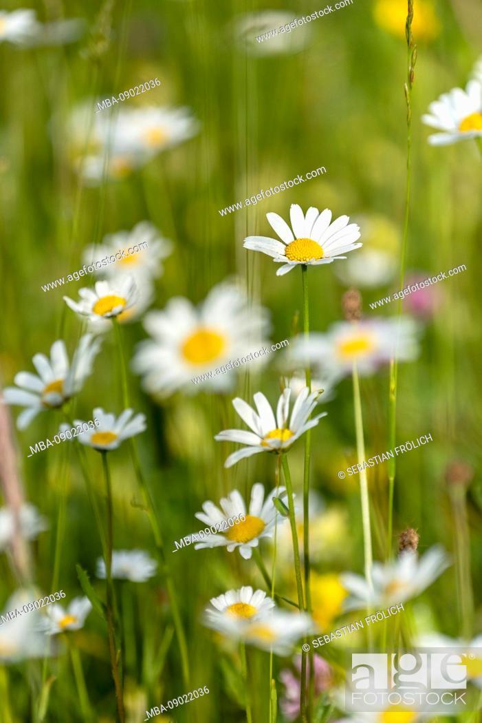 Stock Photo: White alps-aster blossom.