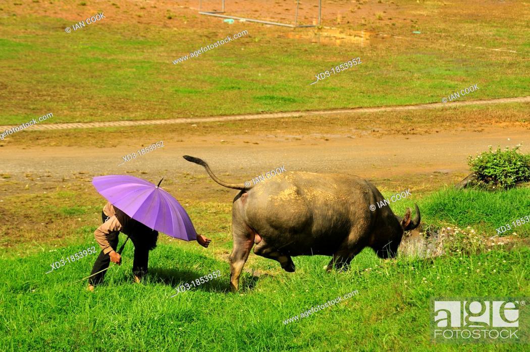 Stock Photo: man with umbrella and water buffalo, Bubalus bubalis, grazing beside soccer field, Sapa, Lao Cai Province, Vietnam.