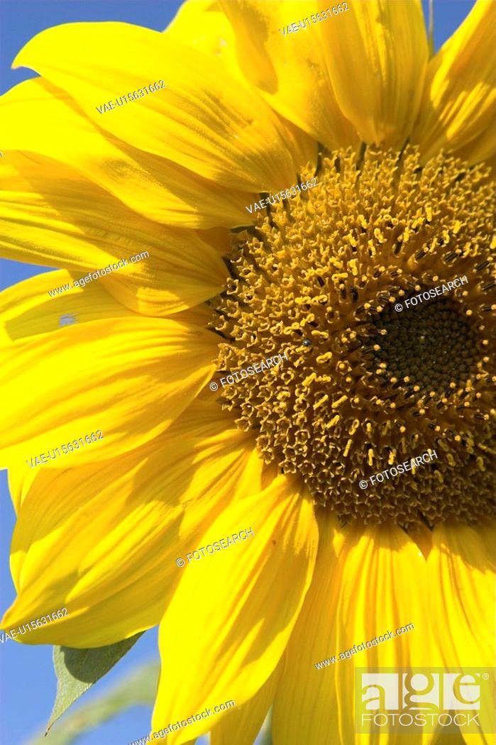 Stock Photo: birdfeed, bloom, blossom, blue, Compositae, core.