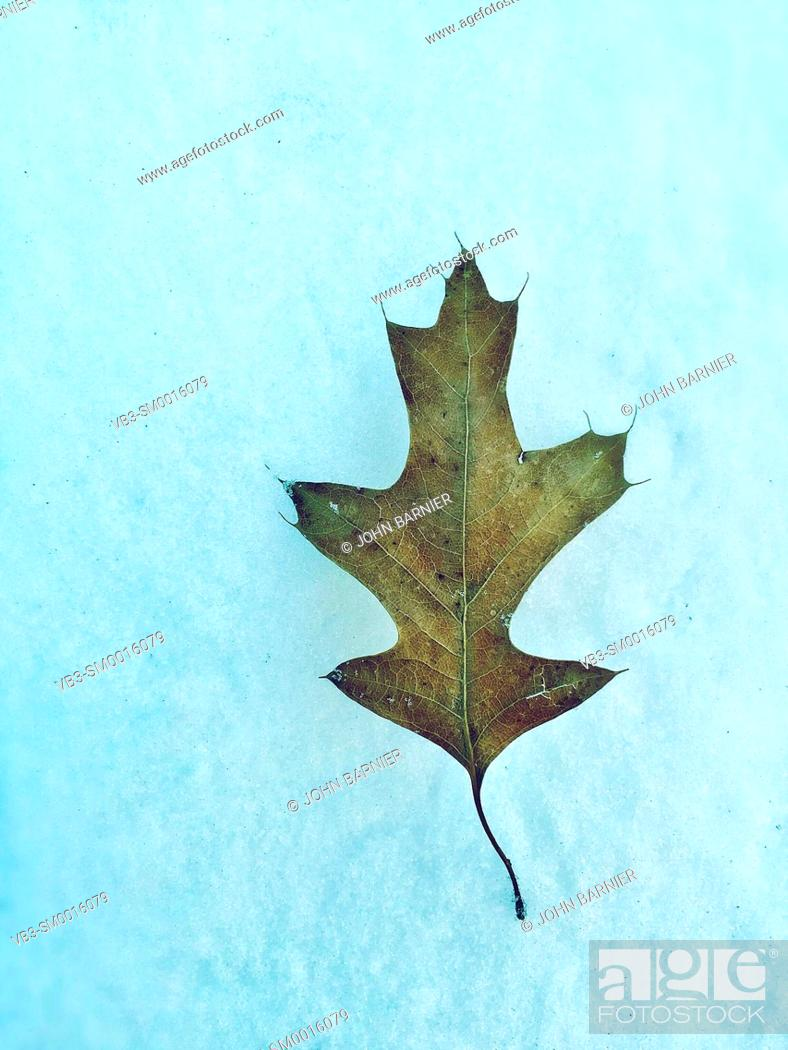 Stock Photo: A small pin oak leaf lying on a patch of snow.