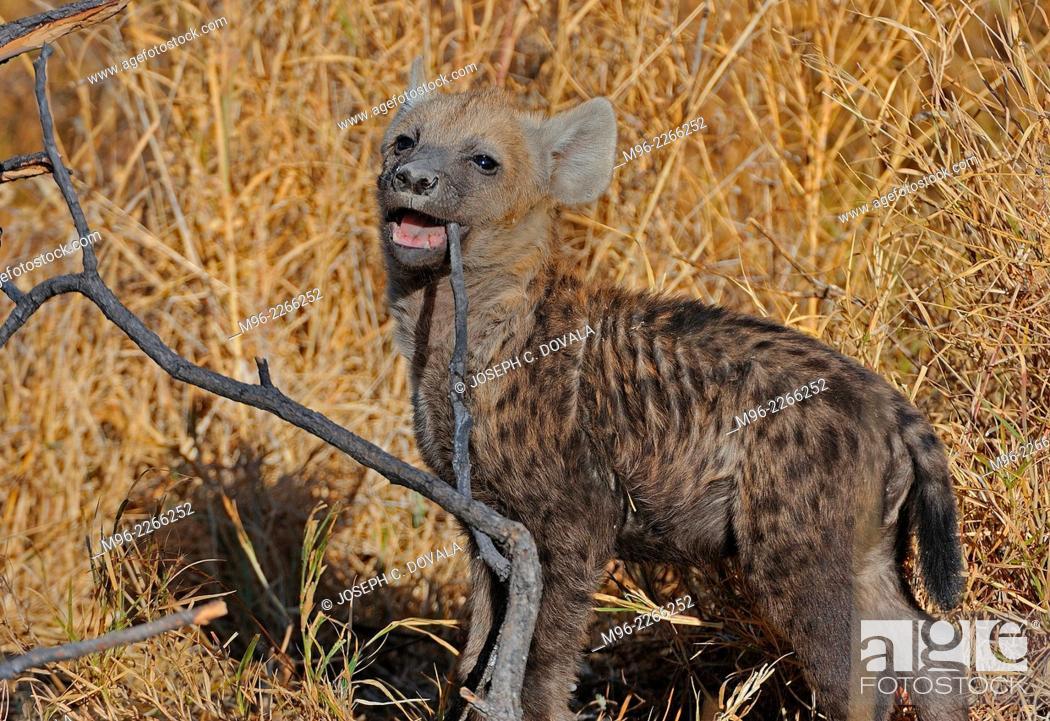 Stock Photo: Young spotted hyena cub plays with stick, Savuti, Botswana, Africa.