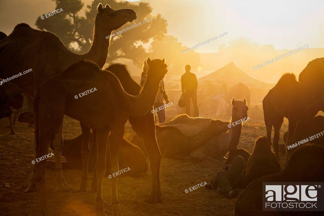 Stock Photo: Camels at Pushkar Camel Fair in early morning, Pushkar, Ajmer, Rajasthan, India.
