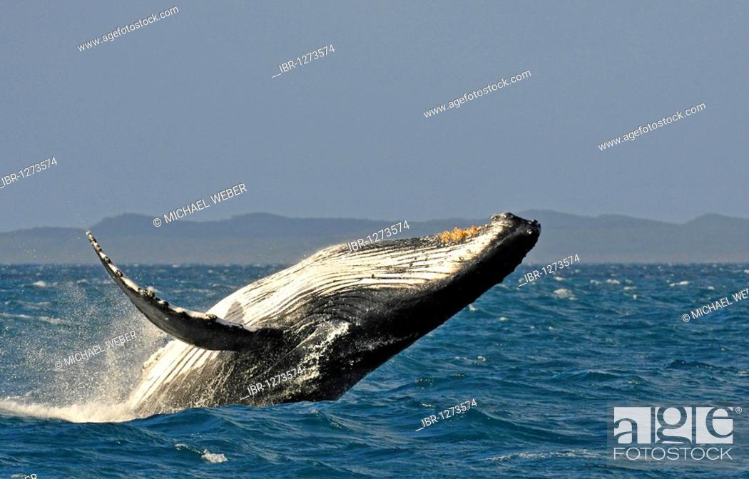 Stock Photo: Typical breach, breaching, screw jump, Humpback Whale (Megaptera novaeangliae), Hervey Bay, Fraser Island at back, Queensland, Australia.