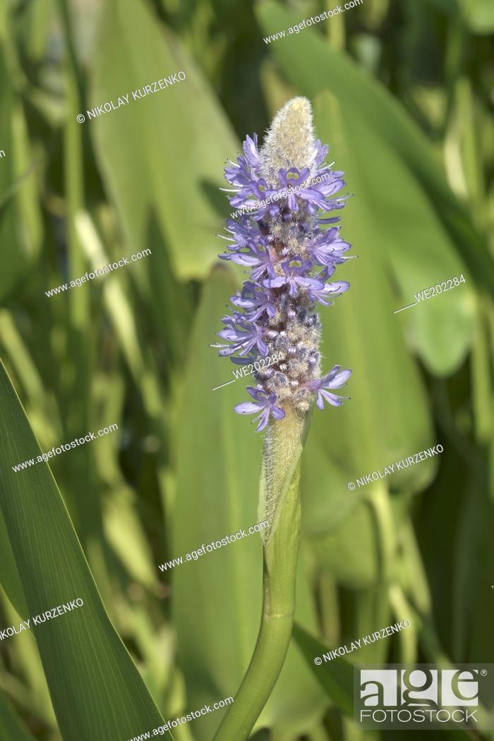 Stock Photo: Pickerelweed (Pontederia cordata).