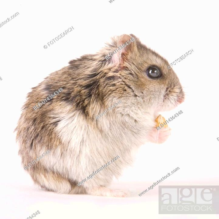 Stock Photo: zwerghamster, alfred, animal, animals, cankerous, corn.