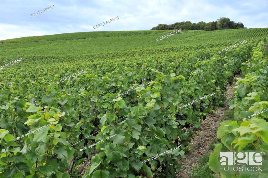 Imagen: champagne hilly vineyard #2, epernay.