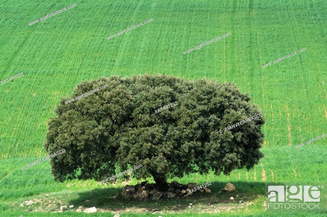 Stock Photo: Lonely tree at cultive field, Albacete province, Castilla la mancha, Spain.